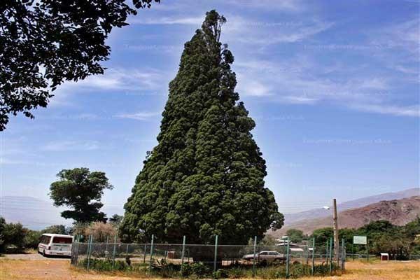 درخت-سرو-منجیل-استان-گیلان
